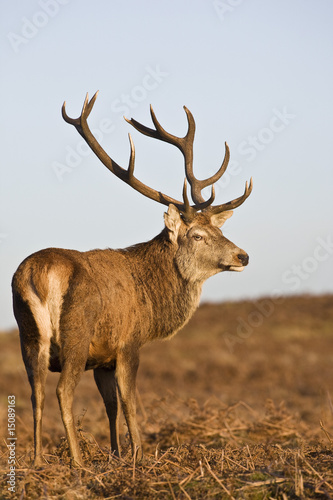 Red Deer stands looking back, UK