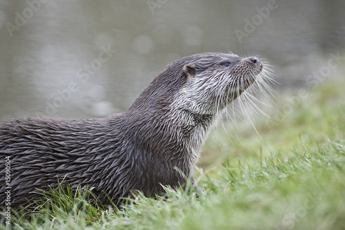 Otter in grass