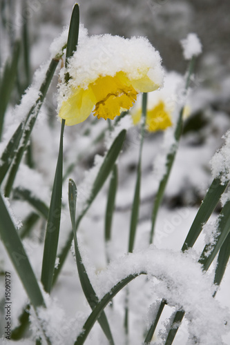 Daffodil covered in snow