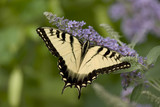TigerSwallowTail_ButterFly