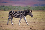 A Burchell's Zebra passes the photographer on the African Plains