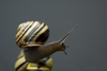 Curios snail