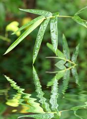 bambou sous la mousson