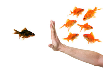 hand discriminating black goldfish