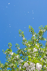 Poplar branches with seed tufts flying, allergy reason