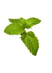 green mint leaves plant