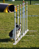 Pembroke Welsh Corgi doing weave poles at dog agility trial poster