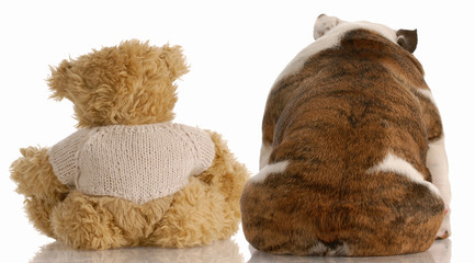 best friends - backside view of a bulldog and a teddy bear