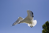 Seagull riding the warm air currents. poster