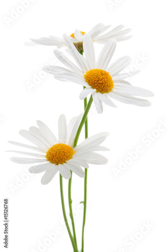 Poster Madeliefjes Daisies on white background