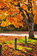 Autumn maple tree near road