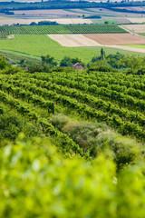 vineyards, Southern Moravia, Czech Republic