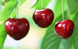 Three ripe cherries on the tree