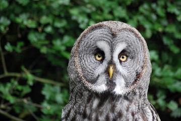 Scandinavian Owl