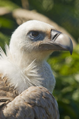 European Black Vulture