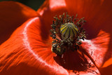 Bee gathering pollen from red poppy flower poster