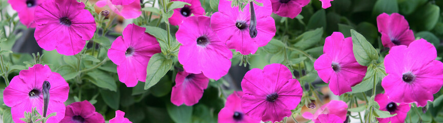 Flowers of a petunia