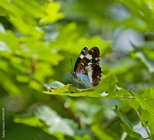 poster of White Admiral butterfly