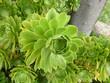 succulente sauvage