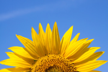 yellow sunflower against a blue sky background