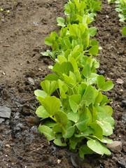 Row of Pea Vines Growing in Garden