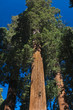 upward angle of Redwood tree