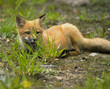 Постер, плакат: mammal red fox E