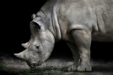 Rhinoceros Bending Down To Eat
