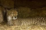 cheetak asleep poster