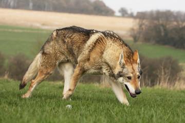 chien loup tchèque marchant comme un loup - menace