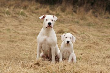 mère et chiot dogue d' argentine assis côte à côte dans l'herbe