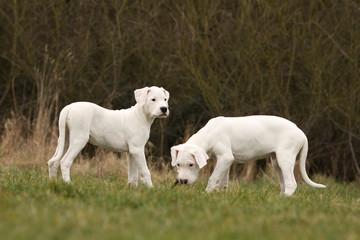 les deux chiots dogue argentin font une pause dans l'herbe