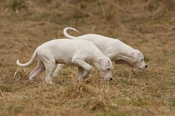les deux jeunes dogue argentin flairent une piste - mimétisme
