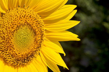 sunflower closeup against a garden background