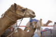 Camel Racing In Dubai