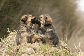 deux chiots dogue du tibet s'embrassant truffe contre truffe