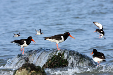 group of eurasian oystercatchers