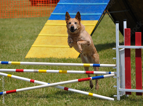 Large dog  leaping over a double jump at agility trial