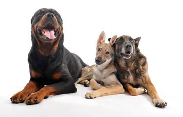 amis chiens