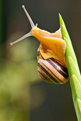 Snail climbing to the top of a plant