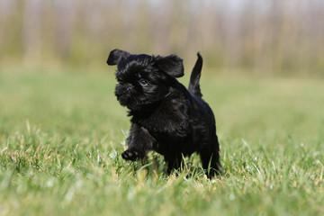 petit chiot griffon belge trottant fièrement dans l'herbe - bébé