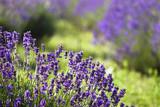 Fototapety lavender field
