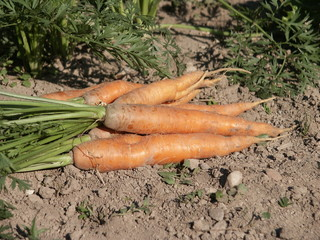 carottes 'Nantaise améliorée' arrachées
