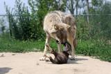 alpha wolf teaching a pup poster