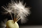 Fototapeta dandelion