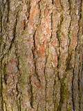 Evergreen Tree Bark Background poster