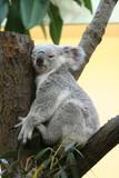 Koala - 15265382