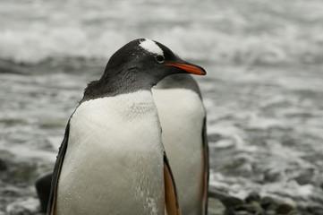 Pinguim na Antartica