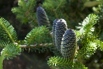 A Pine Three growing in the garden