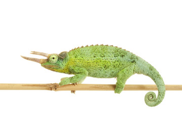 Jackson¡¯s Chameleon